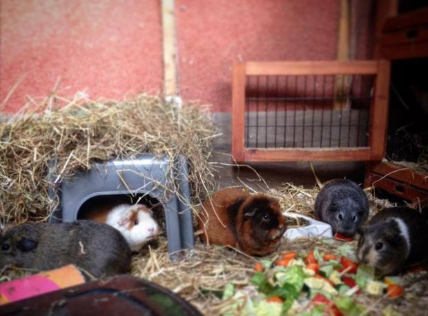 The Northern Echo: Today is Guinea Pig Appreciation Day
