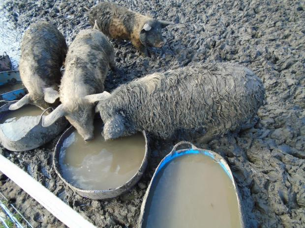 The Northern Echo: The filthy water the pigs, who had access to water, were left to drink