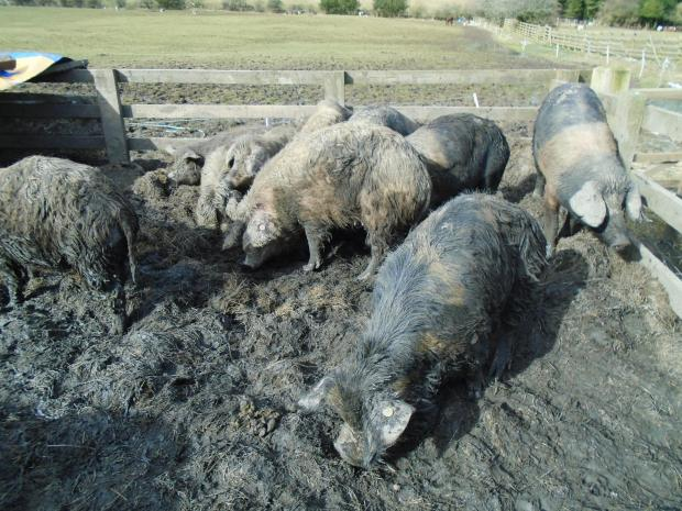 The Northern Echo: Inspectors found pigs living in slurry with no drinking water