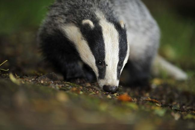 File photo dated 28/07/08 of a badger, as animals rights campaigners condemned a Government decision to extend badger culls to Dorset in a bid to control the spread of TB in cattle. PRESS ASSOCIATION Photo. Issue date: Friday August 28, 2015. Farming mini