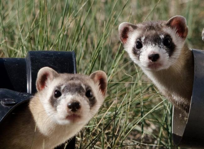 The man was arrested for throwing two ferrets at a vehicle (file photo) Picture: PIXABAY