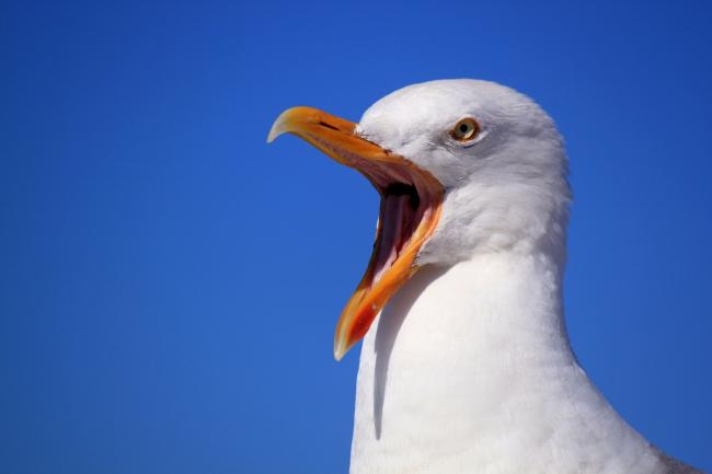 The council has no explanation for a dip in reported gull muggings