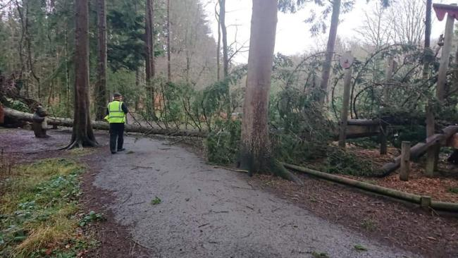 Tree down on Riverside trail, Hamsterley