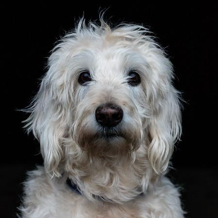 Mable the 14-year-old Labradoodle