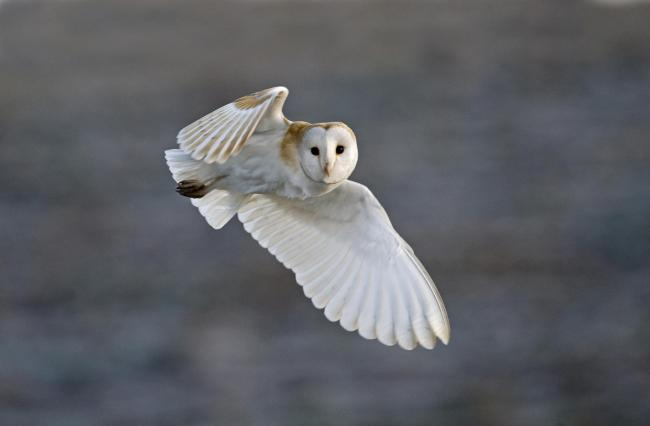 Barn owls and a number of endangered species are thought to be affected by the project