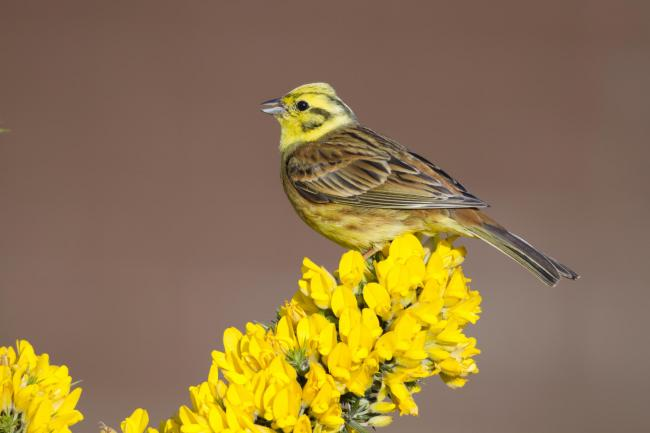 The yellowhammer is similar in appearance to the cirl bunting.