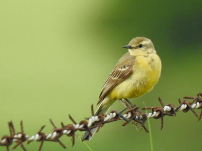 Yellow wagtail (red listed) - near to Skunny Woods. Photo by Leanne Carroll
