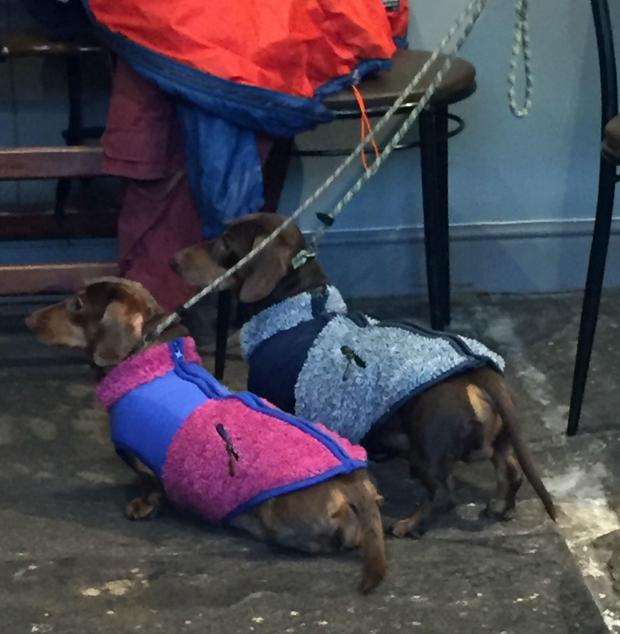 The Northern Echo: A pair of sausage dogs wait for their free water and biscuits at Caffe Curva
