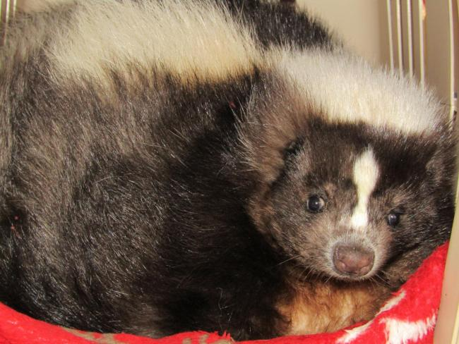 The skunk that was rescued after his stinky ordeal