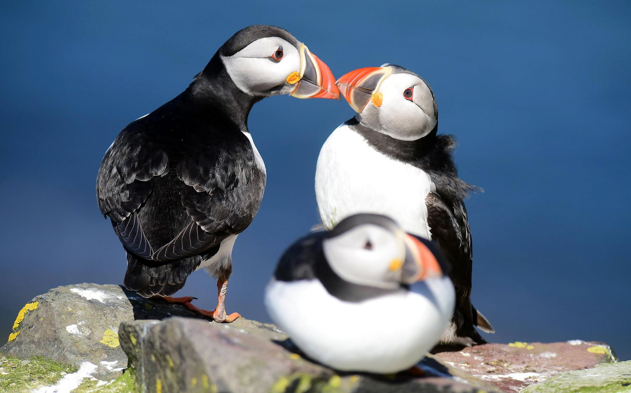 Farne Island puffins 'stable' after 300 young pufflings washed away in floods