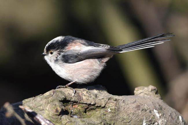 Dr Roger Litton's photograph of a long tailed tit has made it into a national bird calendar