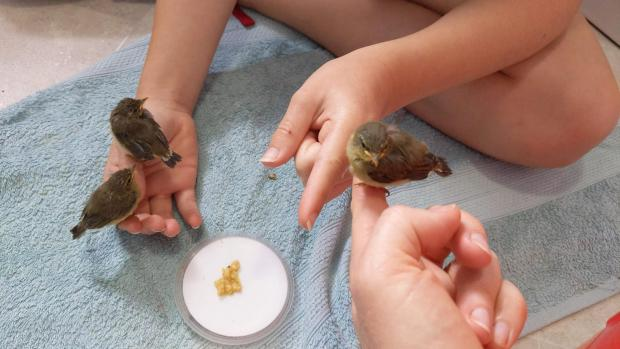 The Northern Echo: The rescued chiffchaffs