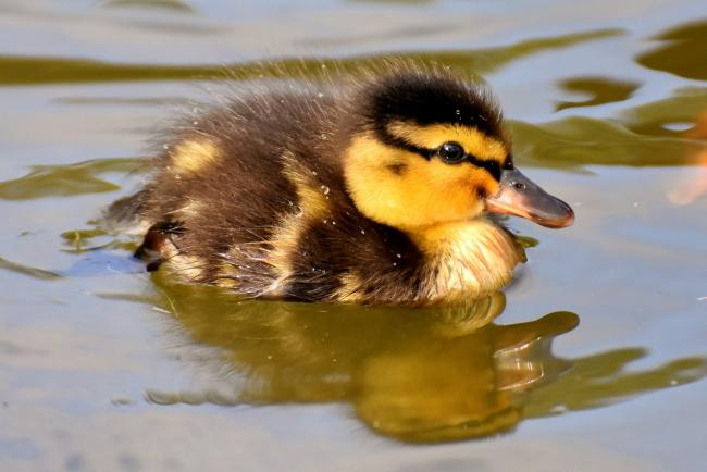 Duckling drowns after break-in at Spennymoor allotments
