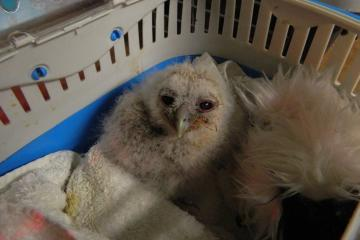 Owl diary: Kirkleatham centre takes delivery of orphan owlets