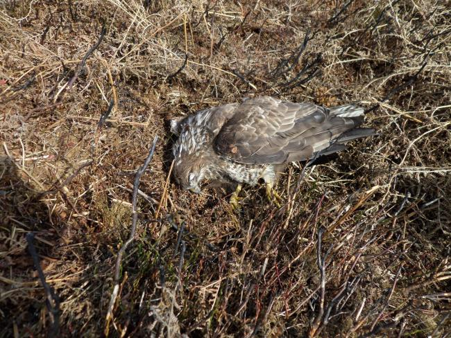The buzzard was found dead near the village of Swainby after being poisoned 			          Picture: RSPB