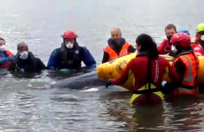 Minke whale is helped by members of the British Divers Marine Life Rescue Picture: Natalia Tochenykh