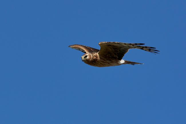 Hen harriers remain endangered despite some encouraging signs Picture: Dennis Jacobsen