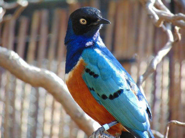 The Northern Echo: The new superb starling is a small but distinctive bird, with metallic green and blue colouring
