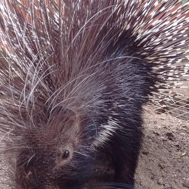 The Northern Echo: One of the Kirkleatham porcupines headed off to a new life at London Zoo