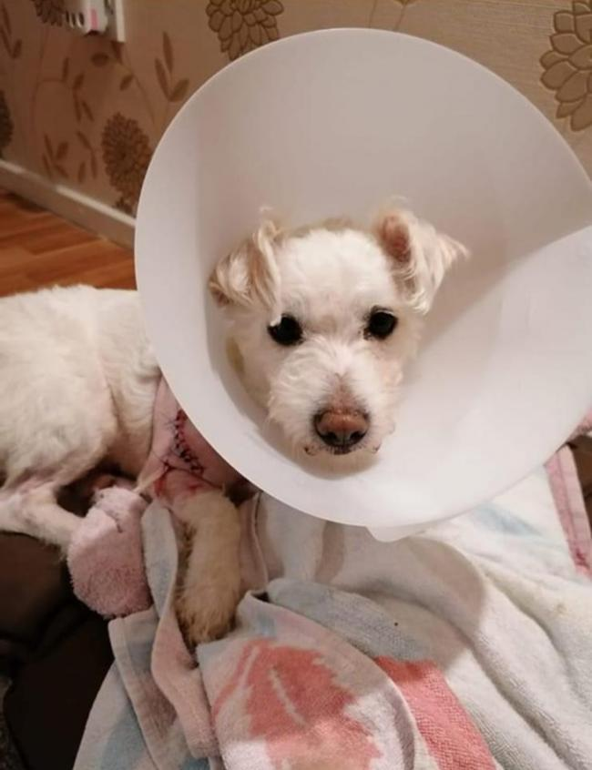 Rascal the terrier was rushed into surgery last night