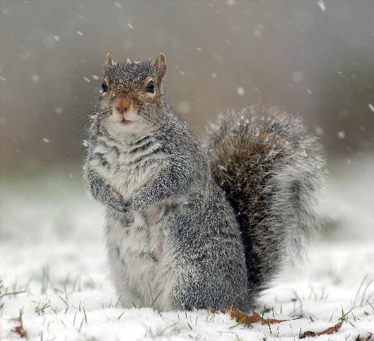 The Northern Echo: A grey squirrel braves the snow in search of food in South Park, Darlington Picture: Paul Kingston / NNP