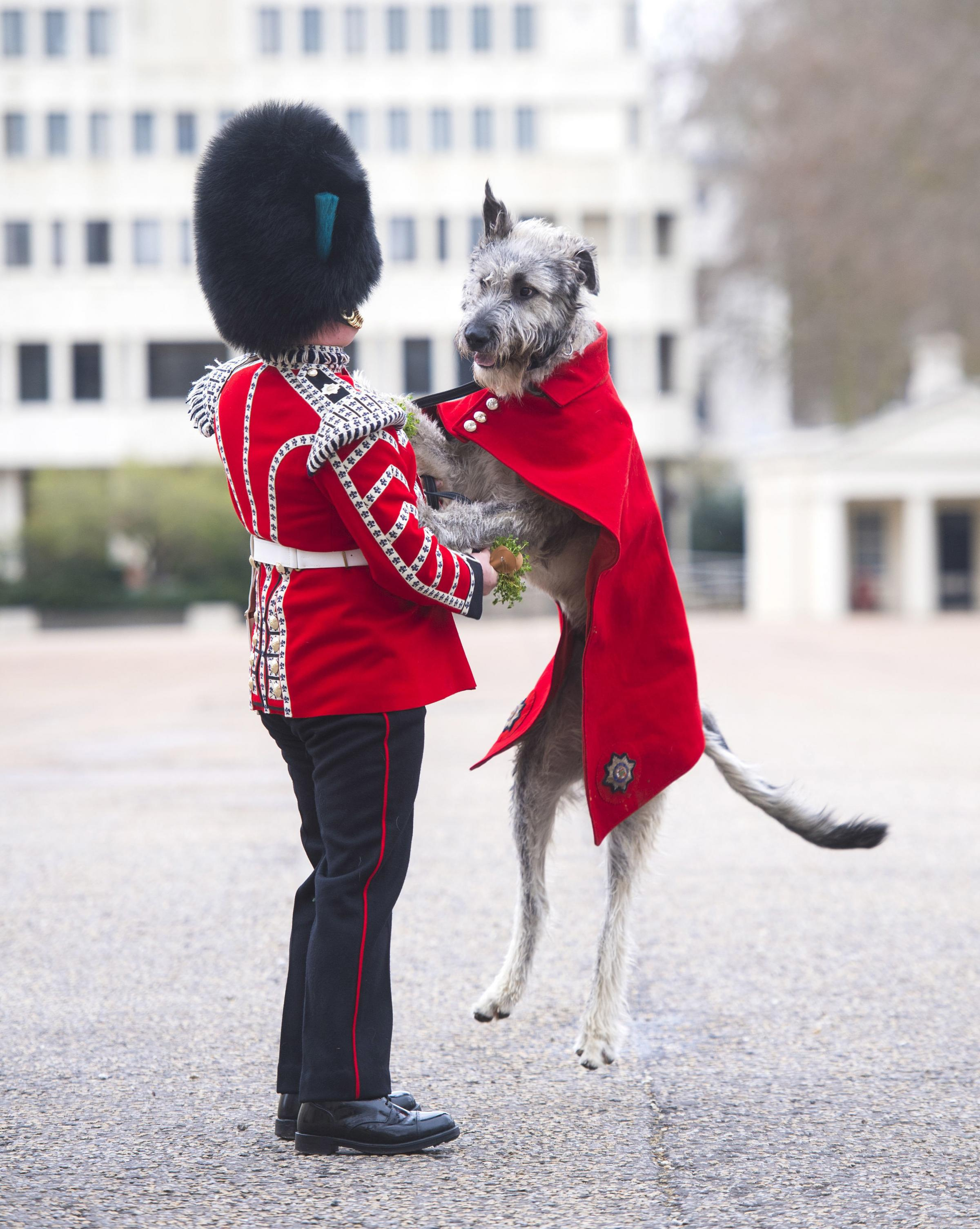 Irish Guards' new mascot, Irish Wolfhound Turlough Mor with his handler Drummer Adam Walsh at Wellington Barracks, London, before being presented with his shamrock ahead of the Regiment's own private St Patrick's Day celebrations