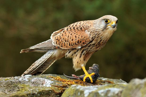 The Northern Echo: Kestrel with its prey