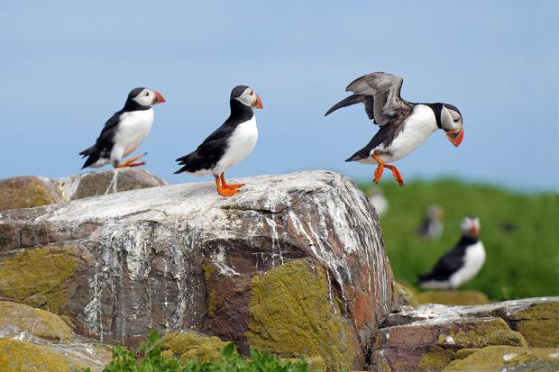 The Northern Echo: 1, 2, 3 – puffins are GO