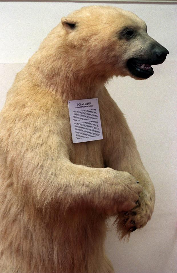 The Northern Echo: Fred the Polar Bear was well known to generations of Darlingtonians