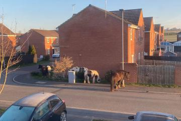 Horses loose again this morning- on roads and eating lawns in Bishop Auckland