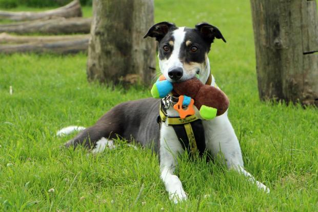 The Northern Echo: Rowland the Greyhound. Picture: Dogs Trust