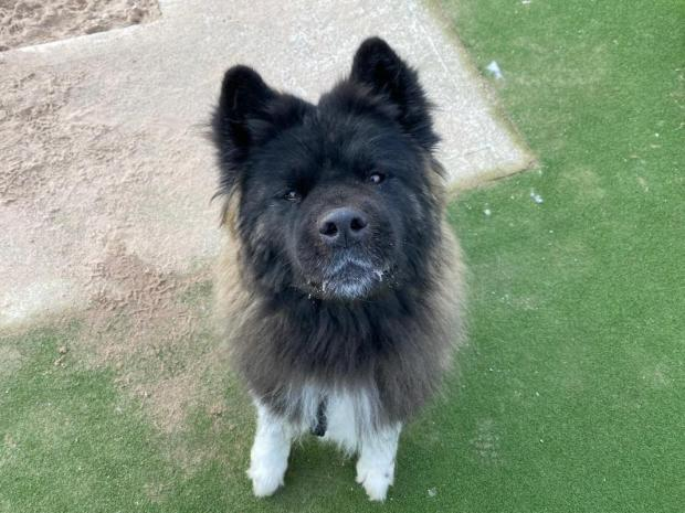 The Northern Echo: Teddy the Akita. Picture: Dogs Trust