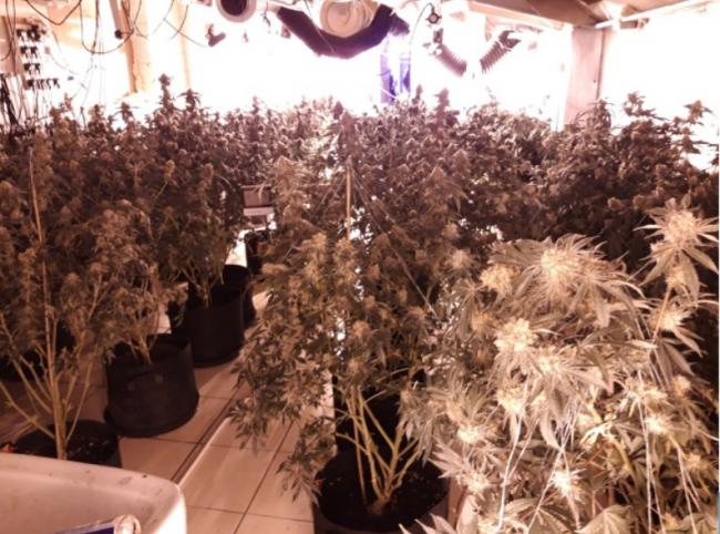 Police seize 78 cannabis plants worth more than £50,000