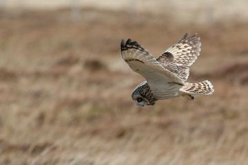 Short-eared owl shot and killed in Teesdale