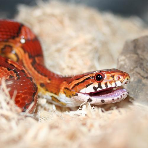 ANIMAL CRUELTY: A corn snake