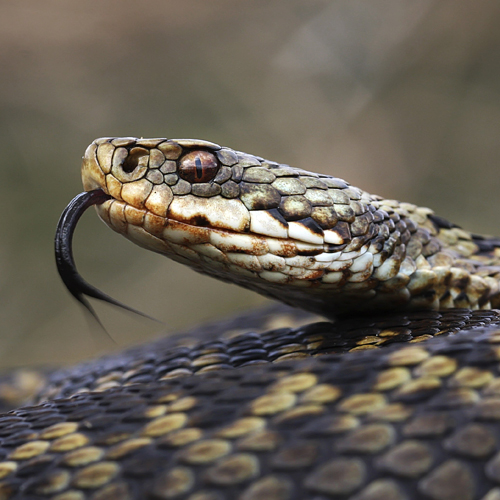 HISSING COUSINS: Inbreeding adders are leading to genetic deformities
