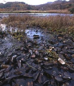 Endangered pearl mussels on the River Esk, above Glaisdale on the North York Moors