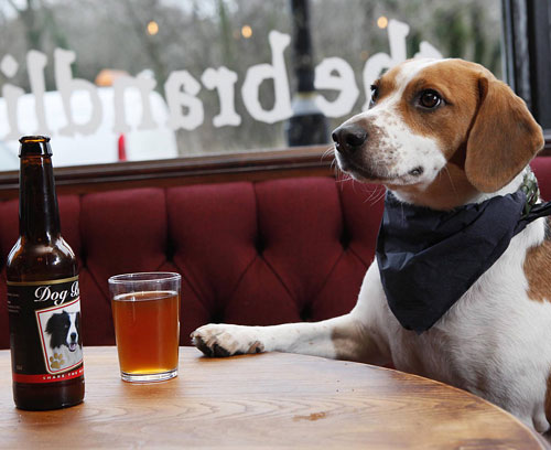 ACQUIRED TASTE: Franco the Beagle tries a pint