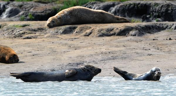 GAMBLE OR STICK? Seals and pups bask on the banks of the River Tees at Seal Sands