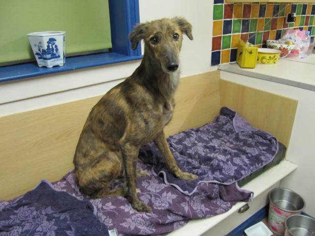 Biddy the Lurcher, who is recovering well with a foster family