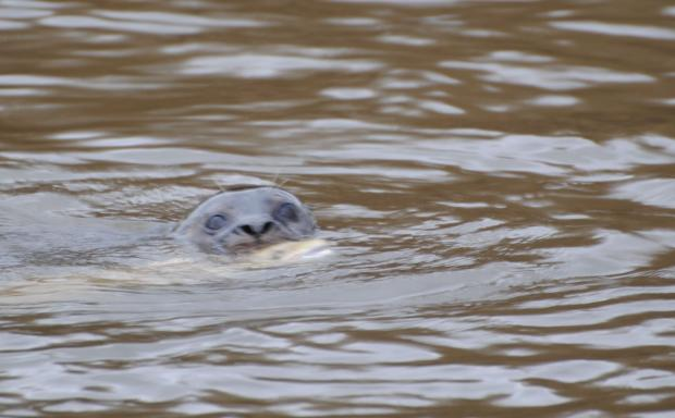 Seal at Chester-le-Street with its latest catch. Picture by Rob Wells