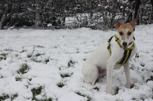 HOME SOUGHT: Lurcher Dexter