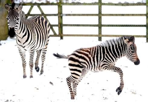 Velvet the baby zebra prances through the North Yorkshire snow