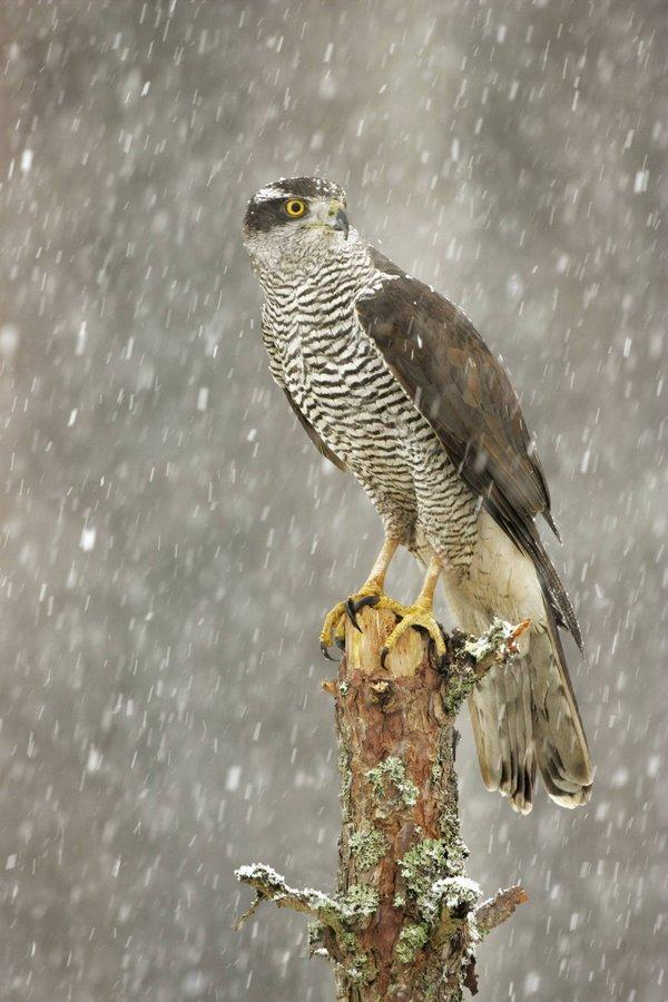 The Northern Echo: A rare goshawk