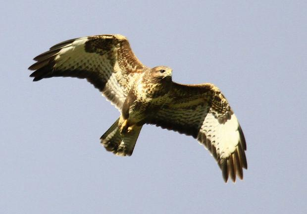 CAUGHT: A buzzard