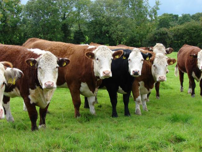 Bovine TB outbreak confirmed in County Durham