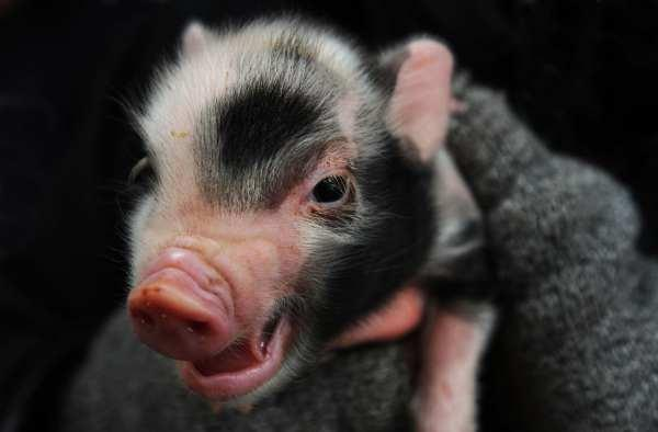 A sibling of the stolen micro-piglet