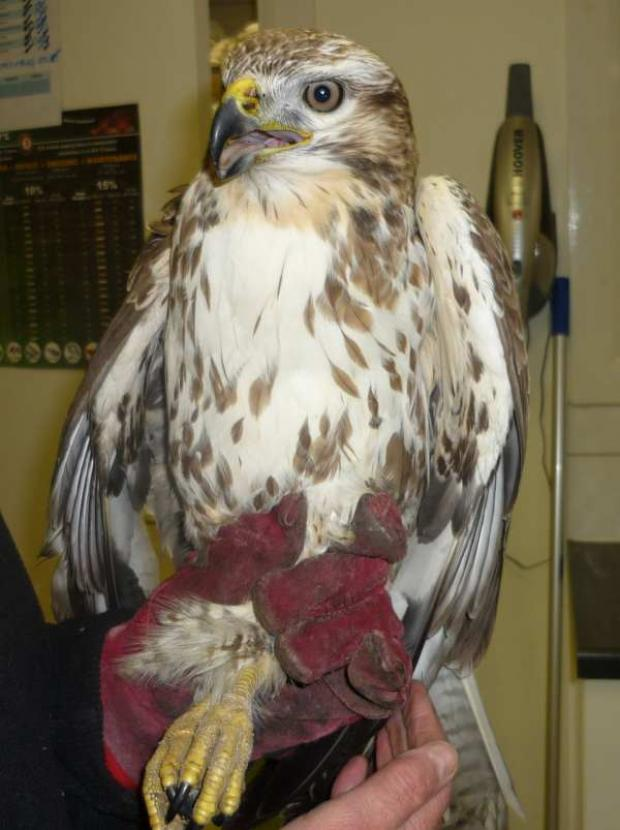 The Buzzard before it was euthanised