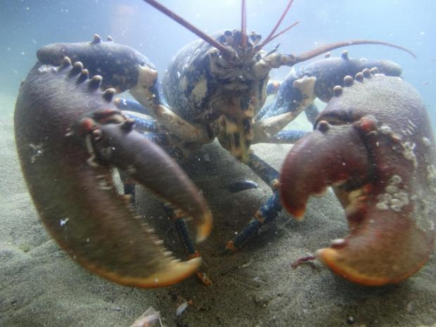 Thief stole lobster (file pic)