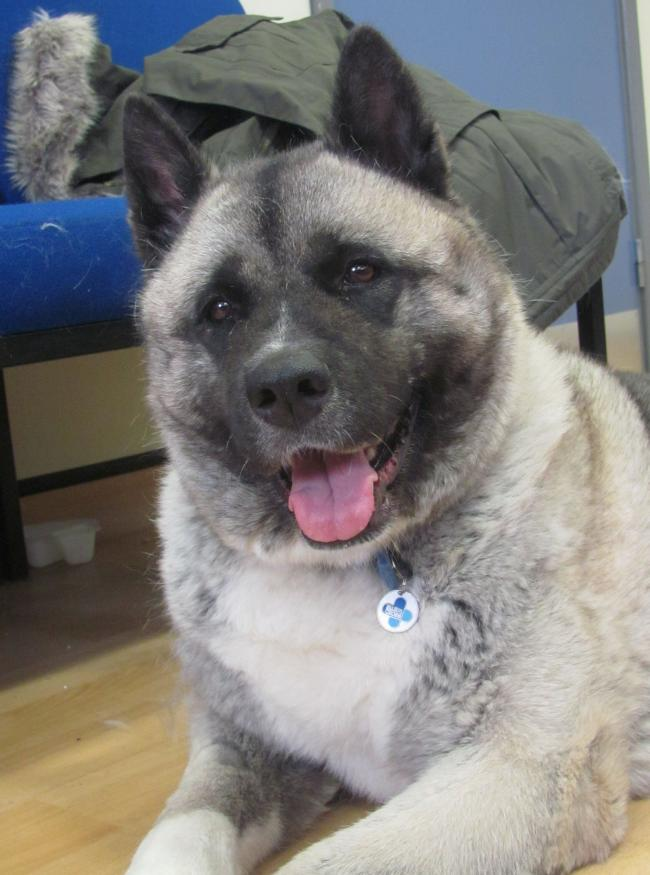 Seren the Japanese akita from the Thirsk centre